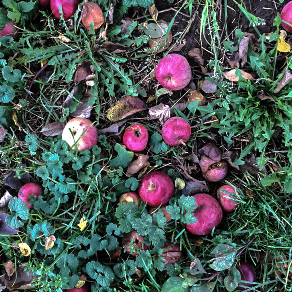 apples-on-ground-edited