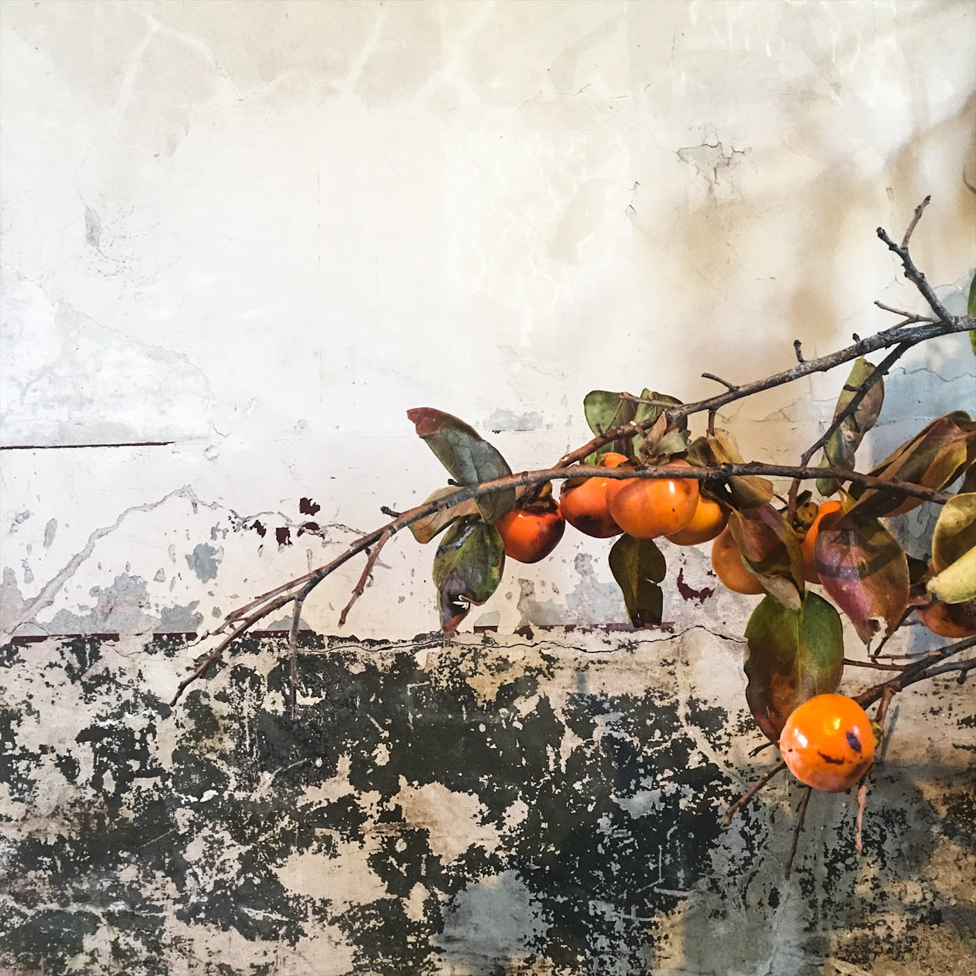 persimmon in the convent
