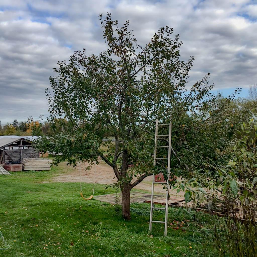 apple-tree-edited
